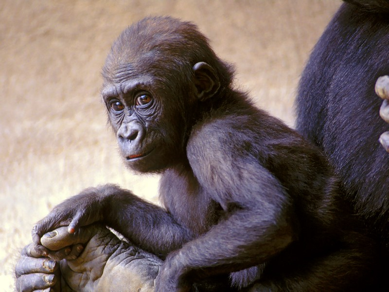Young-Gorilla-with-Mother